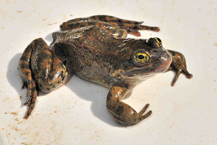 Amphibiaweb News Of The Week