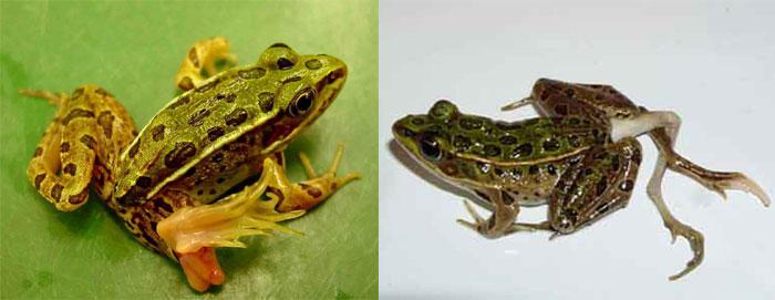 Amphibian Deformities